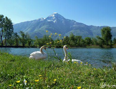 Cigni lungo la ciclabile del fiume Mera a Sorico